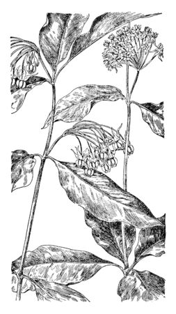 It is showing milkweed family flowers one is, poke milkweed and another is Four-leaved milkweed. Both are normally found in North America, vintage line drawing or engraving illustration.