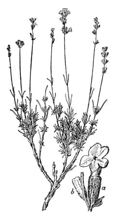 Lavender flowering plants in the mint family, Lamiaceae. Its used commercially for the extraction of essential oils, vintage line drawing or engraving illustration.