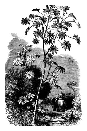 This plant are used to make castor oil, castor oil from this plant has found a modern application in cosmetics. There are at least one thousand five hundred species, vintage line drawing or engraving illustration. Çizim