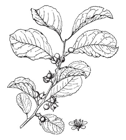 Celastrus Orbiculatus is a perennial deciduous, climbing and woody plant, vintage line drawing or engraving illustration.
