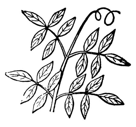 a leaf like a tripinnate shape, leaf arranged on both side of the stem, and the leaf-margin is serrated, vintage line drawing or engraving illustration.
