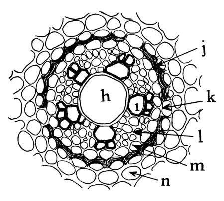 A picture showing the Portion of a cross section of a root of Allium Ascalonicum, vintage line drawing or engraving illustration. Standard-Bild - 132823059