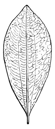 Leaf of caca, Leaf bounded by two longitudinal curved lines, one line on each side of the midrib, and more conspicuous on the under face of the leaf, vintage line drawing or engraving illustration.