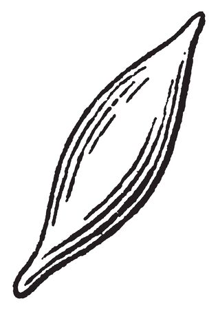In this frame there is fusiform. This fusiform having a spindle-like shape that is wide in the middle and tapers at both ends, vintage line drawing or engraving illustration.