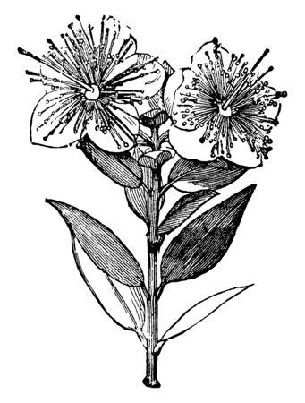 Myrte, nom commun des Myrtaceae, une famille d'arbustes et d'arbres presque entièrement des régions tropicales, en particulier en Amérique et en Australie, dessin de ligne vintage ou illustration de gravure.