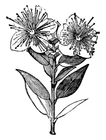 Myrtle, common name for the Myrtaceae, a family of shrubs and trees almost entirely of tropical regions, especially in America and Australia, vintage line drawing or engraving illustration.