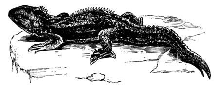 Hatteria are reptiles endemic to New Zealand and although resembling most lizards, vintage line drawing or engraving illustration.