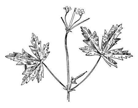 A picture is showing Siberian Geranium, also known as Geranium sibiricum. It belongs to Geraniaceae family. This is a wildflower. The leaves are palmately cleft, with pointed lobes, vintage line drawing or engraving illustration. Illustration