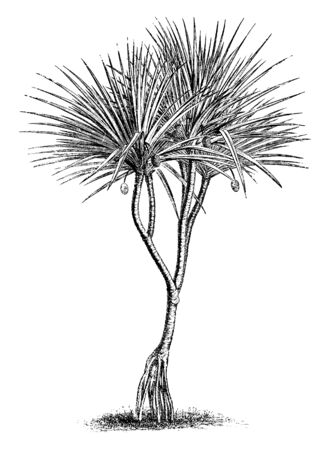 A picture showing a pandanus utulis. This is from Pandanaceae family. The leaves are very long and dense. Stem is thick and round, vintage line drawing or engraving illustration.