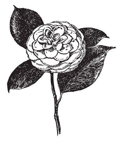 アビー・ワイルダー・カメリア・ジャポニカのイメージです。その花は様々な色で利用可能です。開花植物、ヴィンテージラインの描画や彫刻のイ