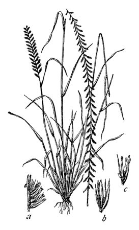 This is an image of Side Oats grass The Leaves of this grass are very long and the stalk is small, vintage line drawing or engraving illustration.