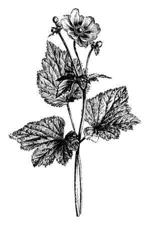 A picture is showing a branch and flower of Anemone Japonica plant. The flowers of Anemone Japonica are rosy, purplish-red in color and mostly grown in Japan, vintage line drawing or engraving illustration.