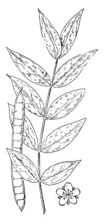 Cassia occidentalis is known as Coffee Senna. It improves digestion, cleanses throat, useful in cough, vintage line drawing or engraving illustration.