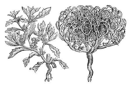 This pictures showing a rose of Jericho plant. The stems are very dense rounded, vintage line drawing or engraving illustration.