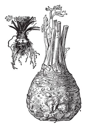 Celeriac is very low in calories and also known as root-celery, vintage line drawing or engraving illustration.
