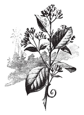 Cinchona is bitter in taste. This plant is classified as cross-pollinated plants and very Hetezigot, vintage line drawing or engraving illustration. Banco de Imagens - 132823986
