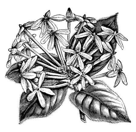 Posoqueria Multriflora plant is belongs to the Rubiaceae family, vintage line drawing or engraving illustration.