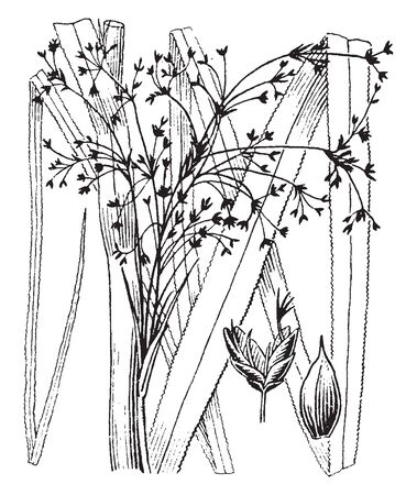 Picture shows the Cladium plant. Leaves are long like grass and sharp. It can produce tall shoots. Flowering stems are tall, vintage line drawing or engraving illustration.