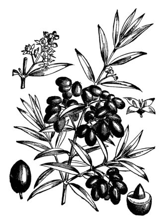 This picture belongs to the branches of the Olive tree, which has fruit engaged on it called Lupton, which is used for the production of olive oil, vintage line drawing or engraving illustration.