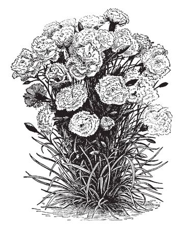 The Outdoor Carnation is known as the flower garden carnation. The flowers are available as annuals, biennials or perennials, vintage line drawing or engraving illustration. Ilustracja