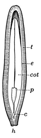 A picture shows the Part of Half cut Squash Seed. Part c shows hypocotyl, part cot shows cotyledon, part e shows endosperm, part h shows hilum, part p shows Plumule and part t shows Testa, vintage line drawing or engraving illustration.