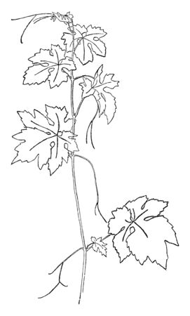 Picture shows the Vitis Vinifera plant. It is showing its leafs and stalks part. Leaves are long and broad. It is used to make juice and wine, vintage line drawing or engraving illustration. 向量圖像