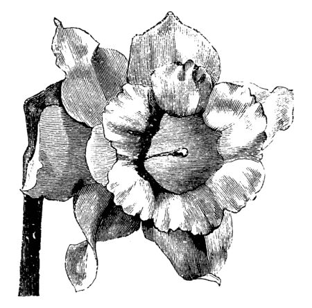 A type of variety of Naricissus Pseudo called Narcissus Major Obvallaris, vintage line drawing or engraving illustration.