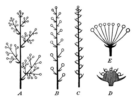 In this picture showing growing stage of plants, picture showing Straight trunk and branches, vintage line drawing or engraving illustration.