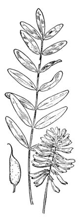 An image showing leaves, pods, and flowers of Milk Vetch plant, vintage line drawing or engraving illustration. Ilustrace