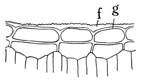 A picture of P. Japonica Epidermis showing cross section through upper half of leaf of Pyrus Japonica, showing cutinized layer of the outer wall at f, and cellulose layer at g, vintage line drawing or engraving illustration. Standard-Bild - 132824005