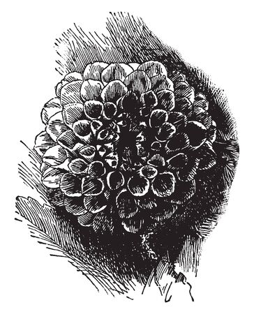 A picture is showing Show Dahlia. These flowers are usually in one color. This is double flower dehlia, vintage line drawing or engraving illustration. Ilustrace
