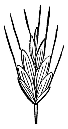 this picture showing chess grass ,this grass grow upside and it growing from two to three feet up side ,There are four or five leaves in the grass upper side is hairy ,stems is thing and short, vintage line drawing or engraving illustration. 向量圖像