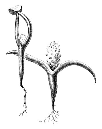 A picture showing the seedling of Prickly pear which is the common name of Opuntia, vintage line drawing or engraving illustration.