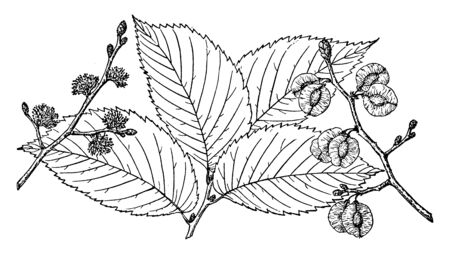 A picture showing the branch of Slippery Elm which is also known as Ulmus fulva. It is native to eastern North America, vintage line drawing or engraving illustration. Çizim
