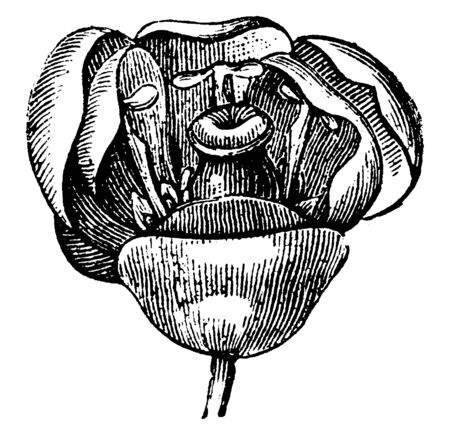 Berry flower have many petal row with three small sepals. Petals are arranged along a central stigma, vintage line drawing or engraving illustration.