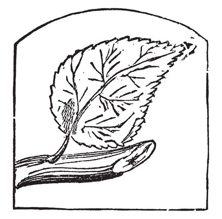 The branch is very thick and the leaf margin is notched. The leaf margin is serrated and the leaf arrangement, vintage line drawing or engraving illustration.