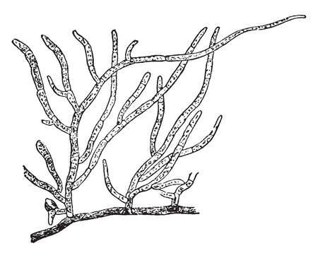 Funaria hygrometrica grows on moist shady, damp soil and also occur on moist wall, vintage line drawing or engraving illustration.