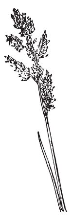 Canada blue-grass is called as wire-grass. The stems are 6 to 24 inches tall, strongly compressed to a flattened oval, vintage line drawing or engraving illustration. Illustration
