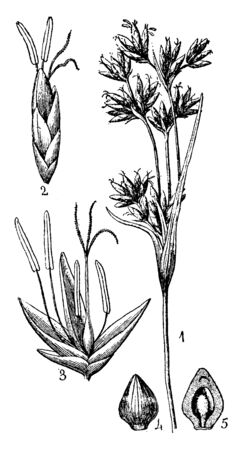 The image shows the twig-rush, a characteristic plant of the bogs of the northeastern United States. It grows in wet sand and can usually be found in bogs or areas of high alkaline, vintage line drawing or engraving illustration.