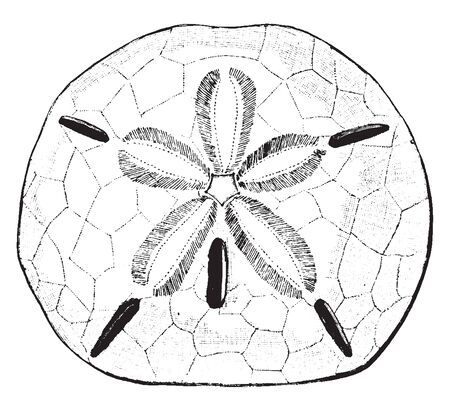 Keyhole Urchin very similiar to the Sand Dollar, vintage line drawing or engraving illustration.