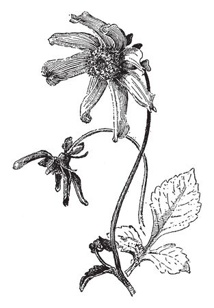 A picture is showing Single Cactus Dahlia, commonly known as dahlia juarezii. It features single row of petals, with long pointed spiky petals, vintage line drawing or engraving illustration.