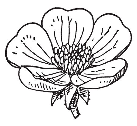 Buttercups are all yellow or gold flowers with green centers, vintage line drawing or engraving illustration.