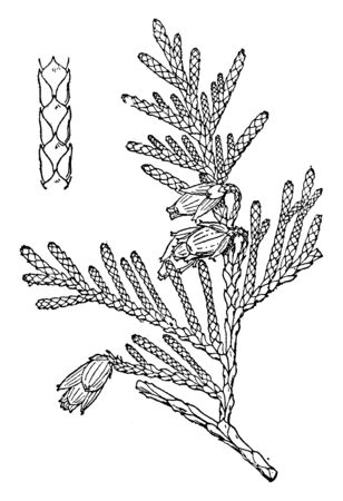 It is a variety of Thuja trees which is normally coniferous, vintage line drawing or engraving illustration.