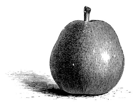 This is a picture of Easter Beurre pear which is best grown in a warm sheltered location, vintage line drawing or engraving illustration.