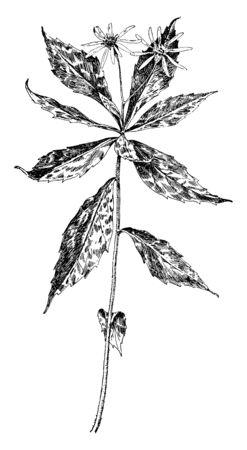 The leaves grown alternate spiral on the stem. Leaves are sharp and flower cluster on the top, vintage line drawing or engraving illustration. Ilustração