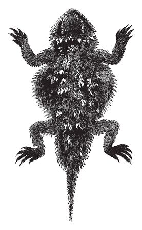 Douglas phrynosoma is a species of small horned lizard and was first discovered in Salt Lake Valley, vintage line drawing or engraving illustration.