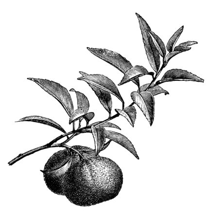 A picture showing branch of Mandarin Orange tree with its fruit. Orange trees flower from February to March. The fruits grow to maturity is nine to eleven months, vintage line drawing or engraving illustration.