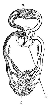 Circulation of a Reptile have a three chambered heart similar to the amphibian heart that directs blood to the pulmonary and systemic circuits, vintage line drawing or engraving illustration.
