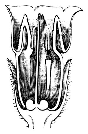 A picture showing the longitudinal section of Comfrey flower, vintage line drawing or engraving illustration.