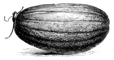 There is a fruit in this frame called the Coulomimer melon. It looks like the melon of the fruit, vintage line drawing or engraving illustration. Illusztráció